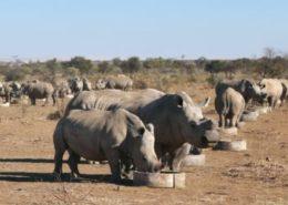 Semi-intensive rhino breeding operation in South Africa