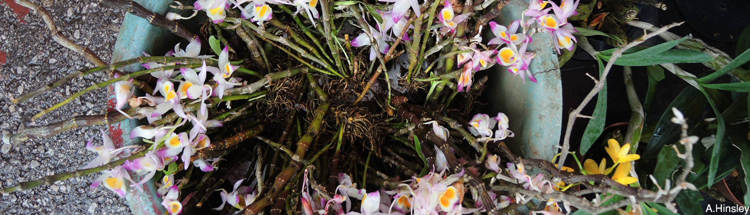 Kunming orchids