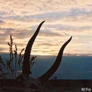Saiga horns at dusk