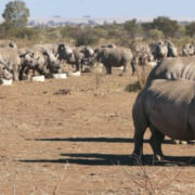 Rhino breeding