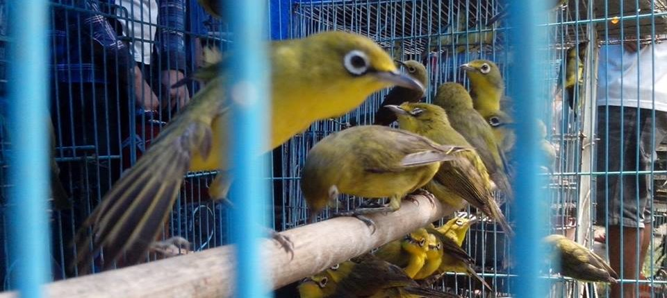 The songbird market and growing bird competitions in Indonesia - Oxford  Martin Programme on the Illegal Wildlife Trade