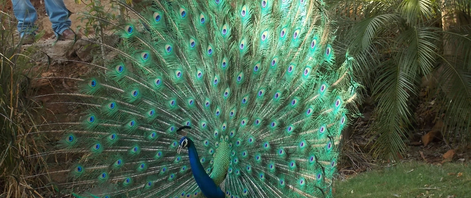 The tail of the peacock: protecting India's national bird from ...
