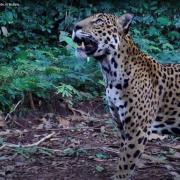 Jaguar. Credit: Melissa Arias