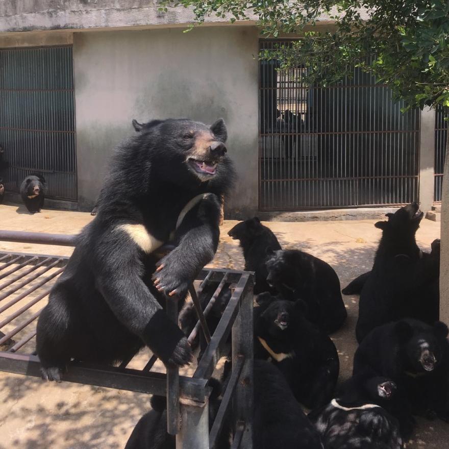 Bear farm in China